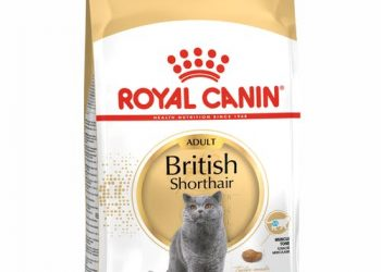British Shorthair Adult